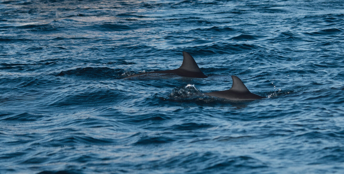 two dolphins with their fins out of the water