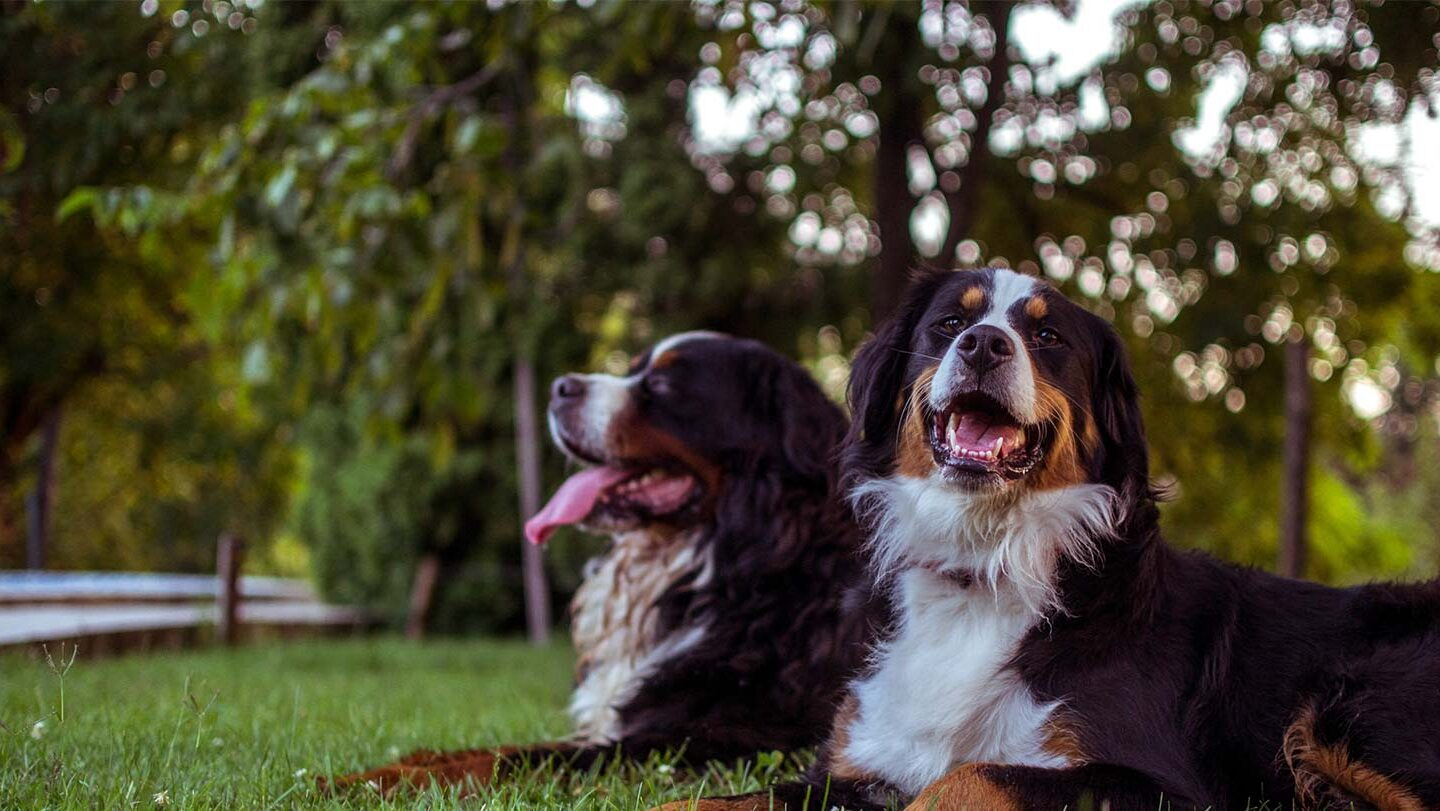 two bernese mountain dog laying on green lawn