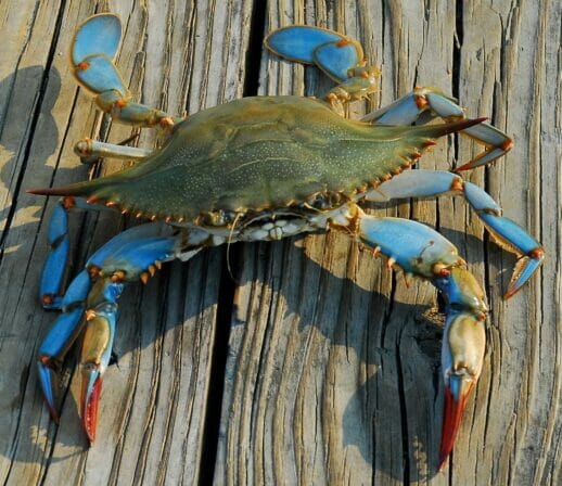 Blue Crab on a dock